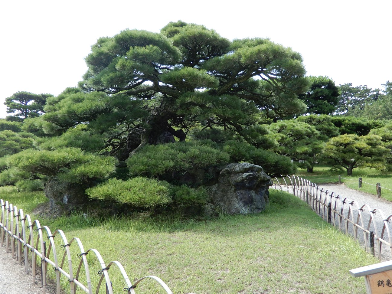 Tsurukame-Matsu Pine Tree. A black pine resting on 110 rocks. This signifies a crane resting on the back of a giant turtle.